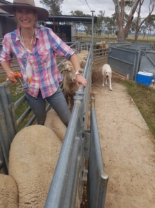 Zoe Smyth vaccinates sheep